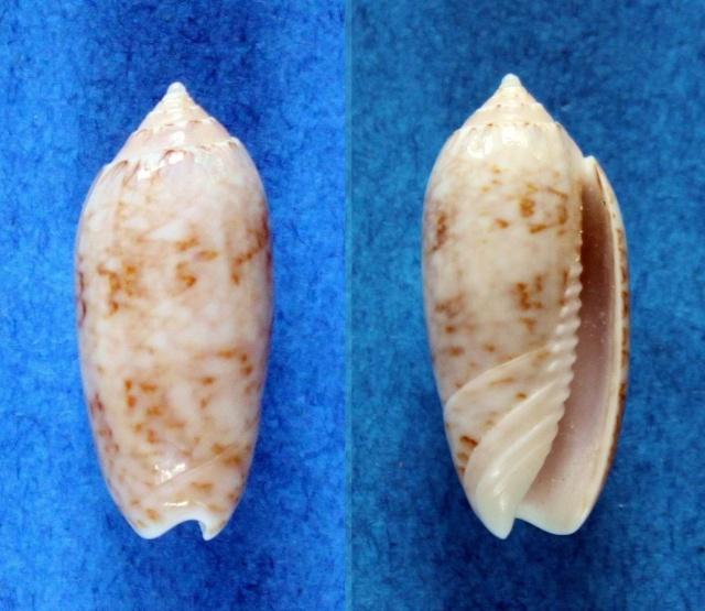 Cariboliva caribaeensis (Dall & Simpson 1901) - Worms = Oliva scripta Lamarck, 1811 Panor699