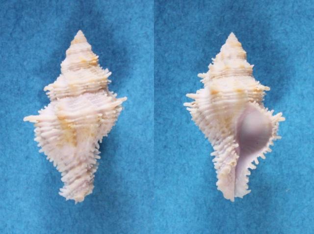 Coralliophila fearnleyi - (Emerson & D'Attilio, 1965) Panor708