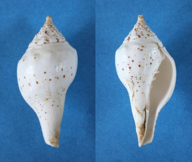 Turbinella pyrum - (Linnaeus, 1767) Panor710