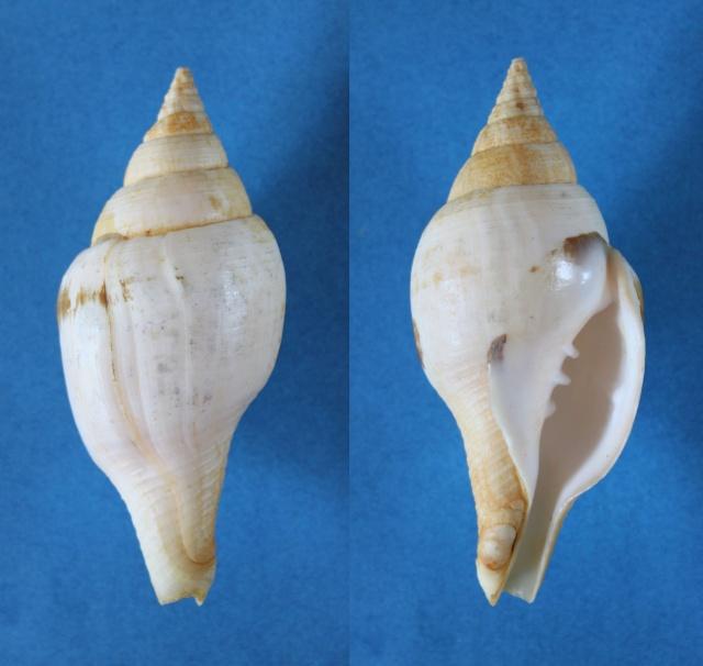 Turbinella pyrum - (Linnaeus, 1767) Panor711