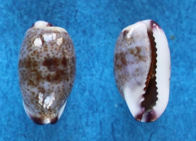 Purpuradusta fimbriata unifasciata - (Mighels, 1845) voir Purpuradusta fimbriata marmorata - (Schröter, 1804) Panor721