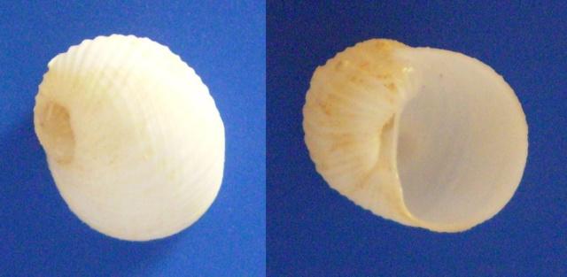 Vanikoridae - Vanikoro cancellata - (Lamarck, 1822) Panor728