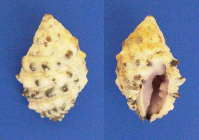 Morula aspera - (Lamarck, 1816) Panor729