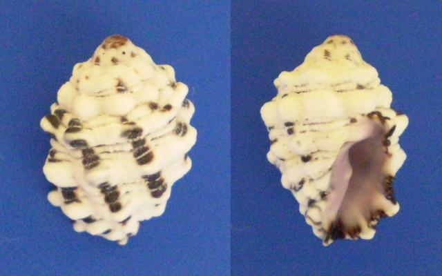 Morula aspera - (Lamarck, 1816) Panor730