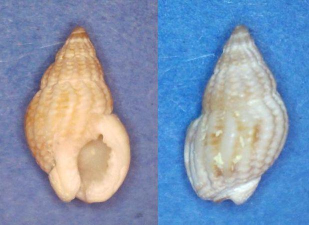 Phrontis alba - (Say, 1826) Panor739