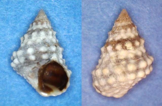 Echinolittorina tuberculata - (Menke, 1828) Panor745