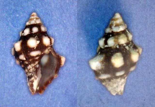 Leucozonia ocellata - (Gmelin, 1791) Panor758