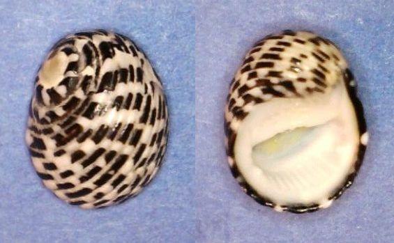 Nerita tessellata - Gmelin, 1791 Panor760