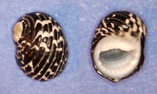 Nerita tessellata - Gmelin, 1791 Panor762