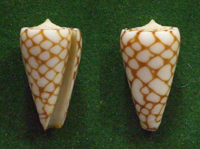 Conus (Eugeniconus) marchionatus   Hinds, 1843 Panor769