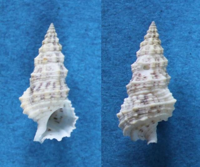 Cerithium columna - G. B. Sowerby I, 1834 Panor773