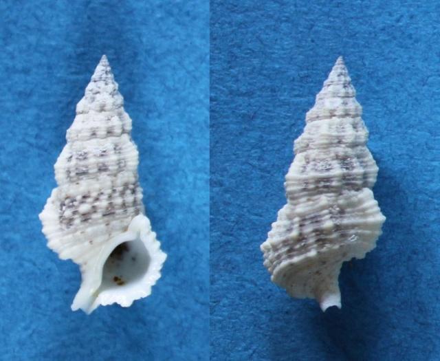 Cerithium columna - G. B. Sowerby I, 1834 Panor774