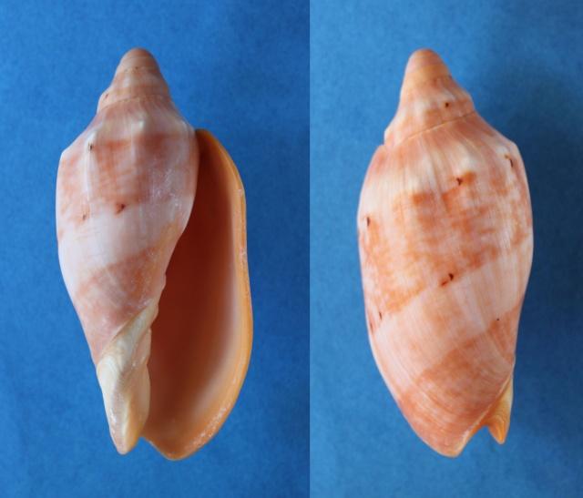 Cymbiola malayensis - Douté & Bail, 2000 Panor796