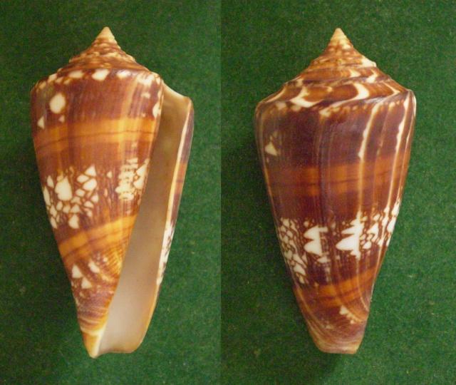 Conus (Leptoconus) castaneofasciatus  Dautzenberg, 1937 - Page 2 Panor799