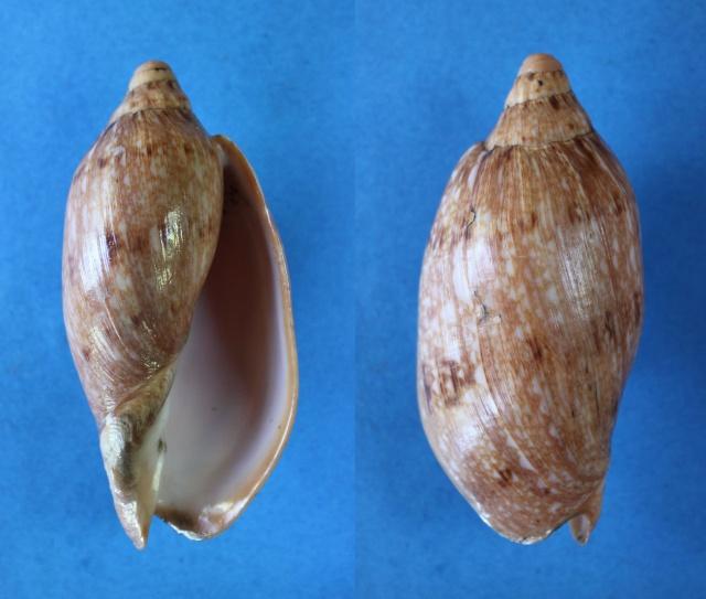 Cymbiola innexa - (Reeve, 1849)  Panor801