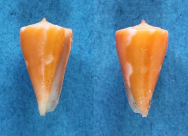 Conus (Splinoconus) sazanka Shikama, 1970 voir Conus (Splinoconus) martensi Panor805