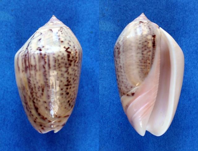 Americoliva incrassata burchorum (Zeigler, 1969) - Worms = Americoliva incrassata (Lightfoot in Solander, 1786) Panor839