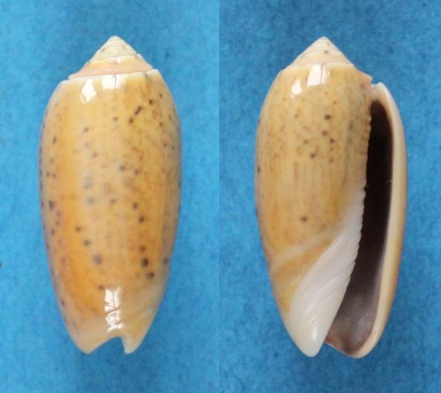 Oliva tigridella f. blanda (Marrat, 1867) Panor843