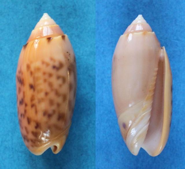 Annulatoliva annulata nebulosa (Dautzenberg, 1927) voir Annulatoliva annulata (Röding, 1798) Panor844