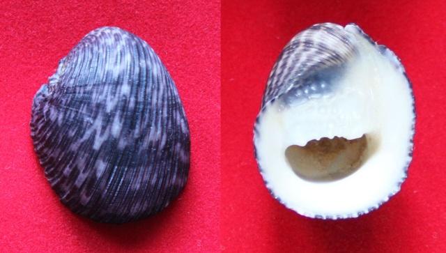 Nerita planospira - Anton, 1838 Panor850