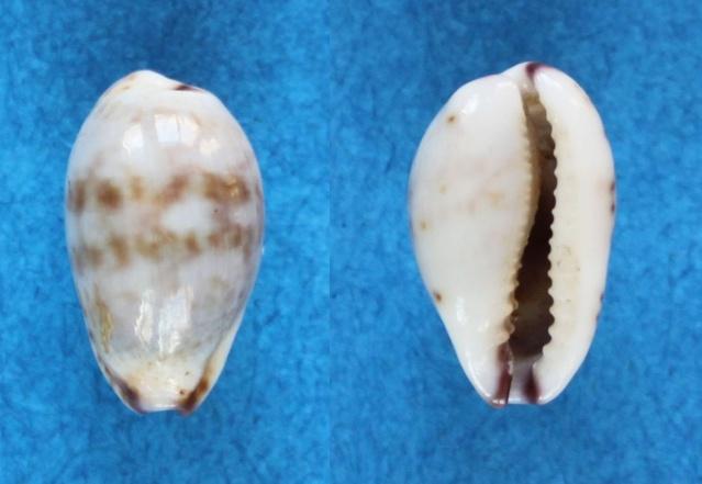 Purpuradusta fimbriata quasigracilis - Lorenz, 1989 Panor860