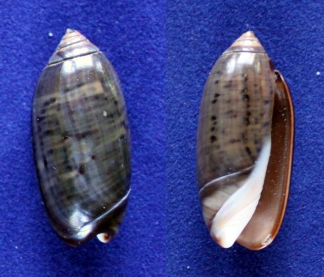 Oliva staleyi (Perini, 2011) Panor861
