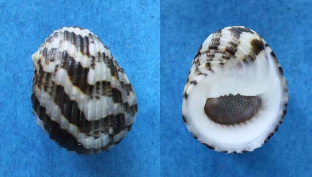 Nerita chamaeleon - Linnaeus, 1758 Panor875