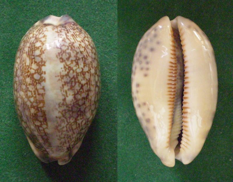 Mauritia eglantina - (Duclos, 1833) Panora28