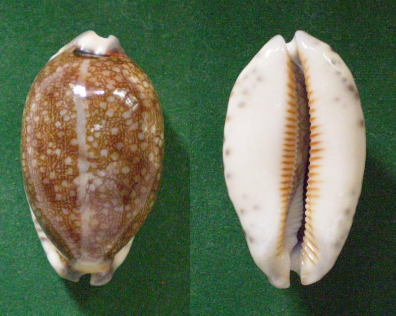 Mauritia eglantina - (Duclos, 1833) Panora29
