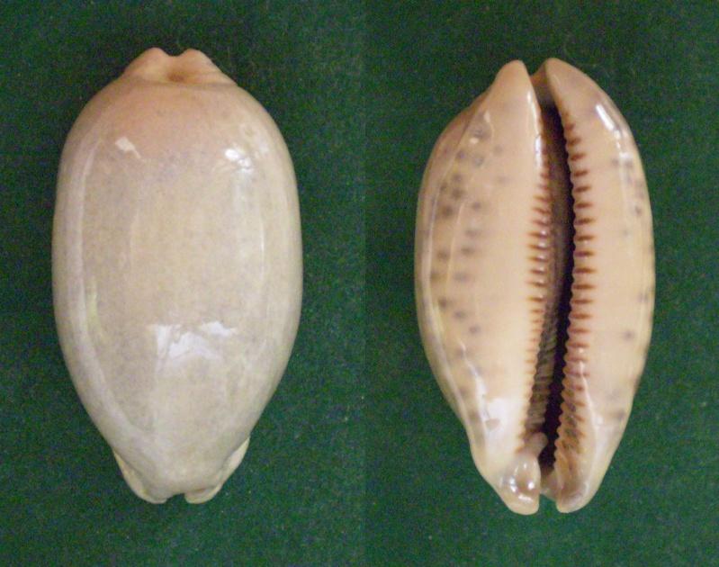 Mauritia eglantina - (Duclos, 1833) Panora30