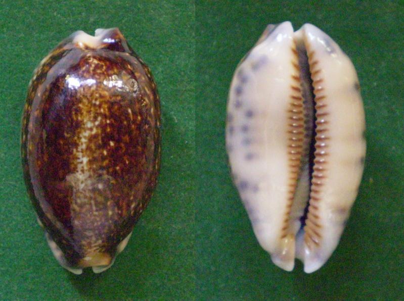 Mauritia eglantina - (Duclos, 1833) Panora31