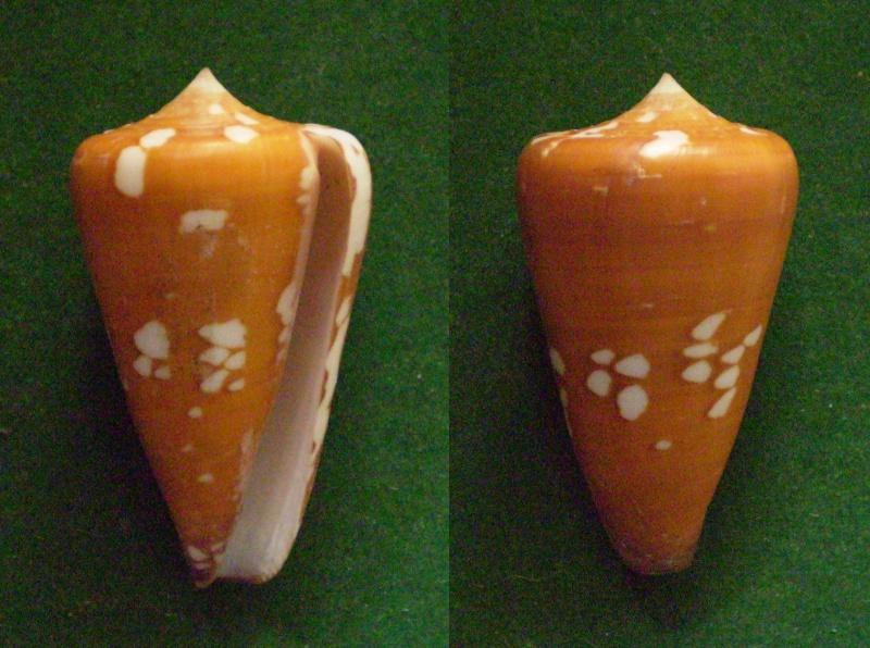 Conus (Darioconus) crocatus thailandis  da Motta, 1978 Panora38