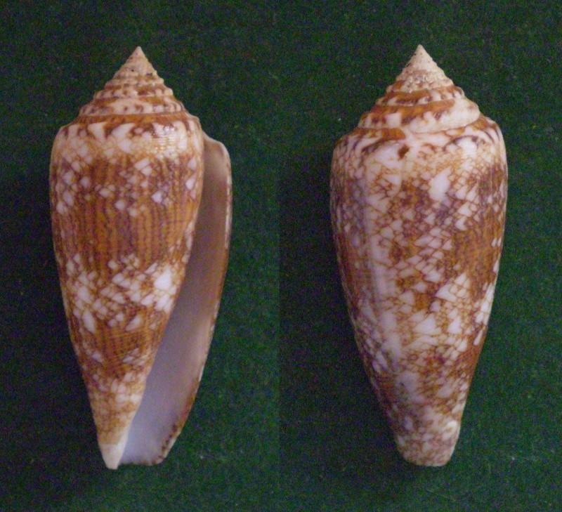 Conus (Cylinder) telatus   Reeve, 1848 Panora40