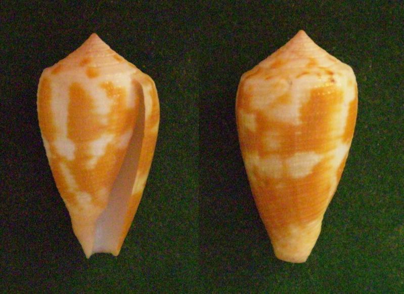 Conus (Pionoconus) metcalfii  Reeve, 1843 voir Conus (Pionoconus) magus Panora46