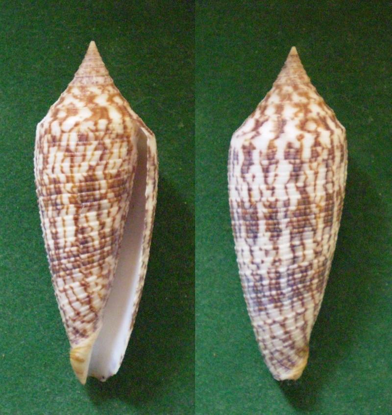 Conus (Phasmoconus) australis  Holten, 1802 Panora49