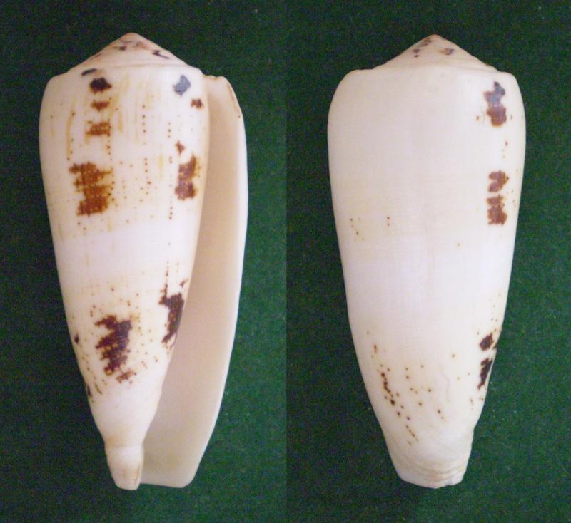 Conus (Pionoconus) magus fulvobullatus da Motta 1892 voir Conus (Pioconus.) magus Panora73