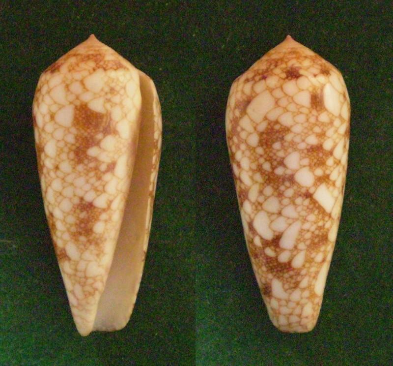 Conus (Darioconus) omaria      Hwass in Bruguière, 1792 Panora74