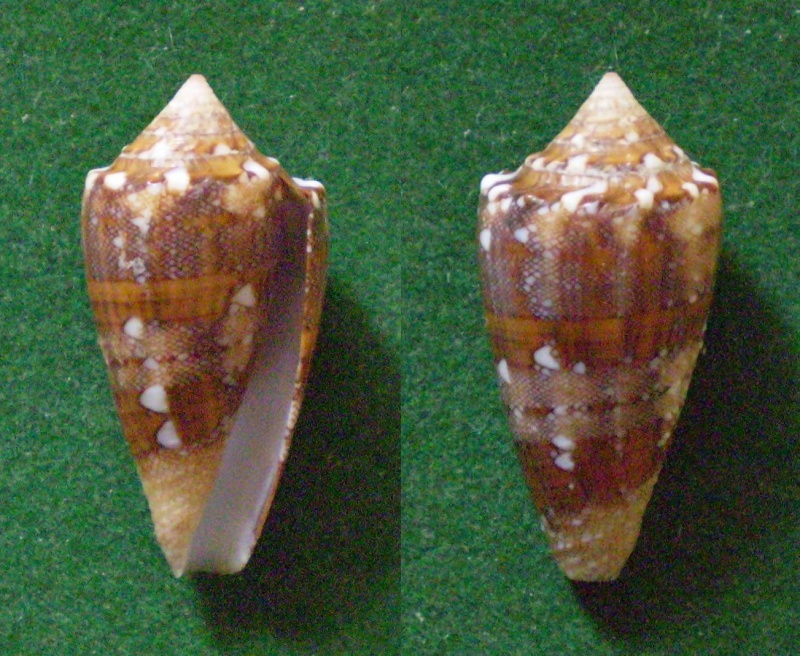 Conus (Cylinder) pseudocedonulli   Blainville, 1818 Panora80