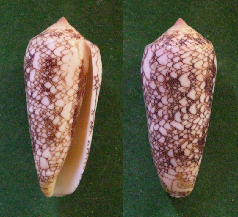 Conus (Darioconus) omaria convolutus     GB Sowerby II, 1858  Panora87
