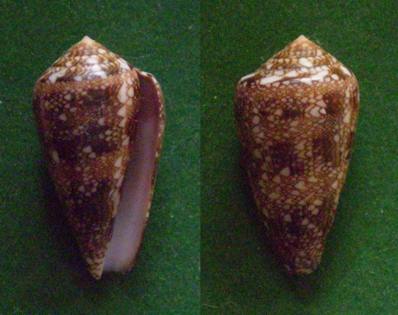 Conus (Cylinder) dalli   Stearns, 1873 Panora89