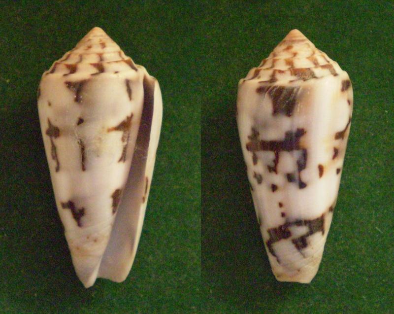 Conus (Pionoconus) gubernator   Hwass in Bruguière, 1792 Panora92