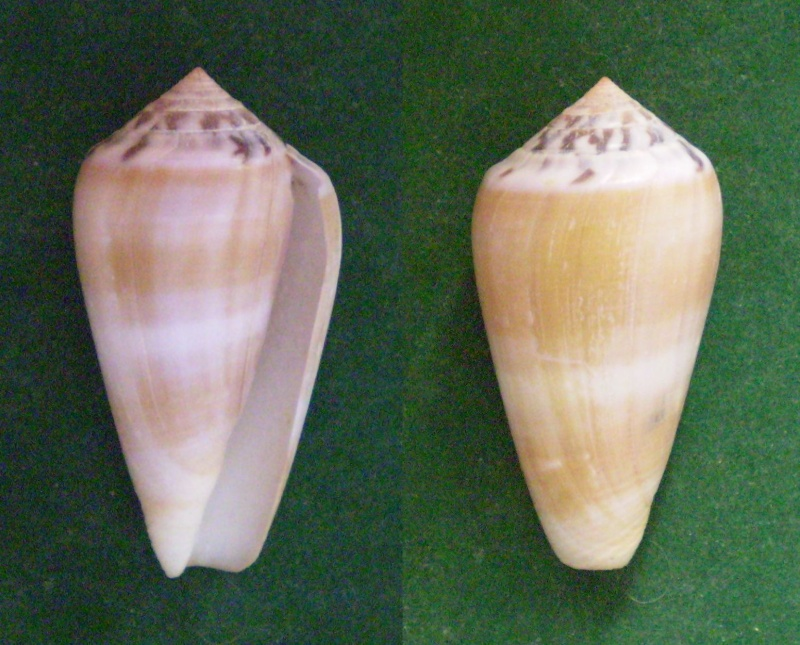 Conus (Pionoconus) fulmen kirai   Kuroda, 1956 Panora95