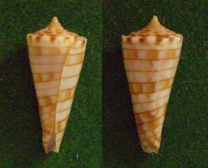 Conasprella (Boucheticonus) kimioi  (Habe, 1965) Panora99