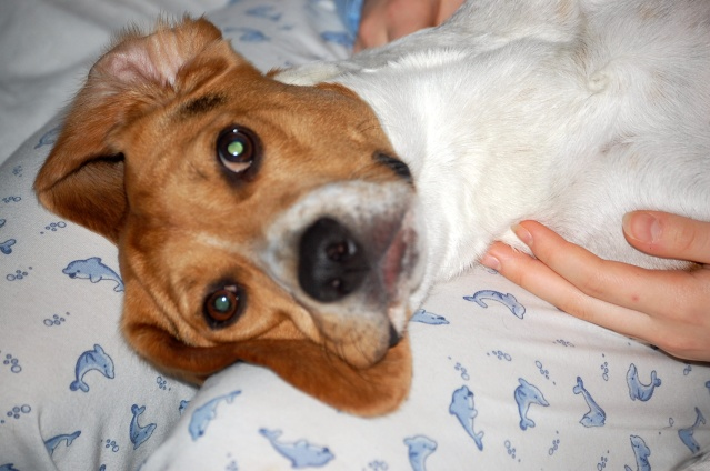FILOU, beagle de 3 ans (59) en FA chez Fabou [Adopté] - Page 4 Dsc_1145