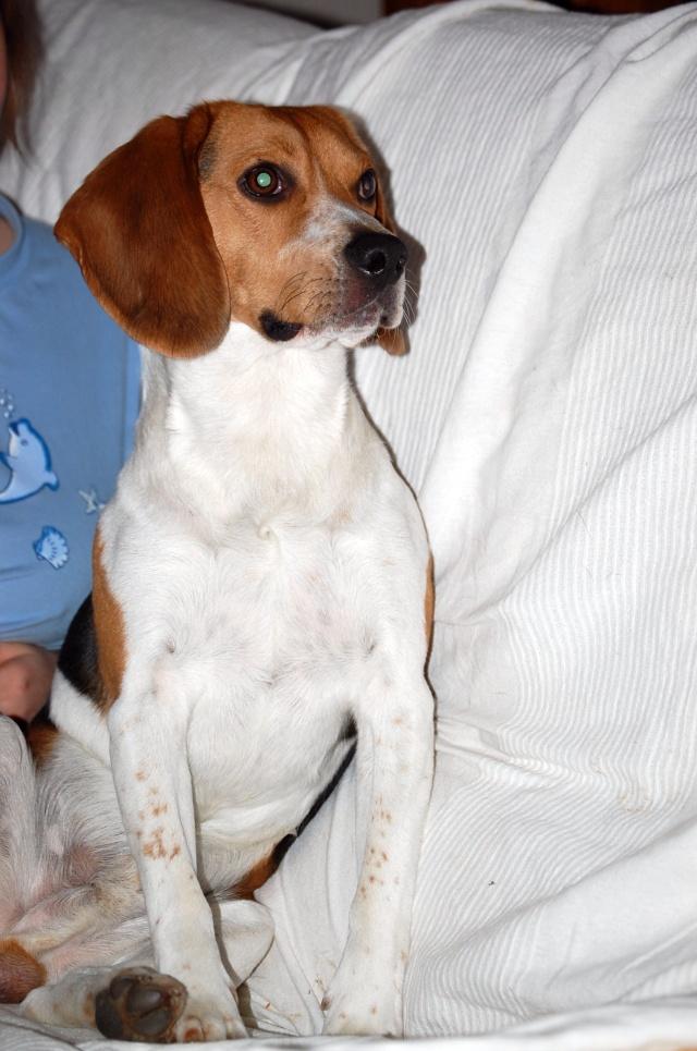 FILOU, beagle de 3 ans (59) en FA chez Fabou [Adopté] - Page 4 Dsc_1146