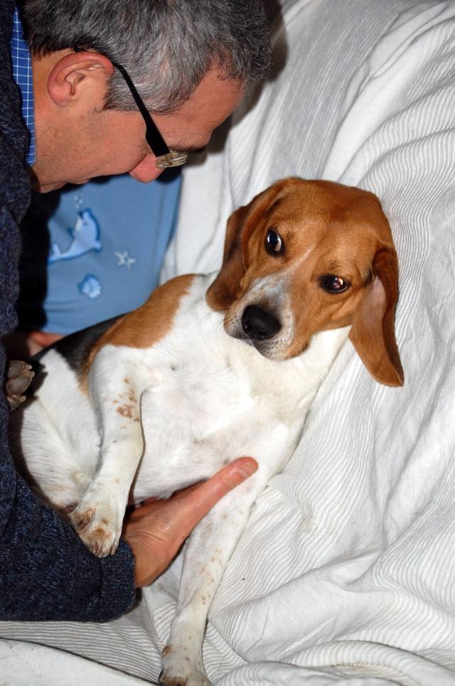 FILOU, beagle de 3 ans (59) en FA chez Fabou [Adopté] - Page 4 Dsc_1147