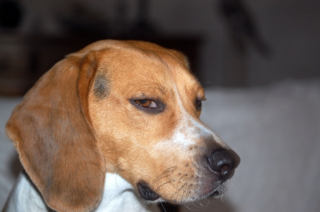 FILOU, beagle de 3 ans (59) en FA chez Fabou [Adopté] - Page 4 Dsc_1149
