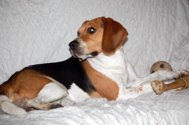 FILOU, beagle de 3 ans (59) en FA chez Fabou [Adopté] - Page 4 Dsc_1151