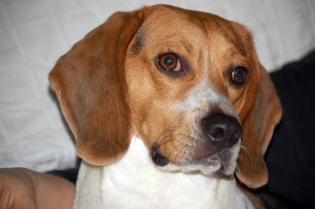 FILOU, beagle de 3 ans (59) en FA chez Fabou [Adopté] - Page 4 Dsc_1152