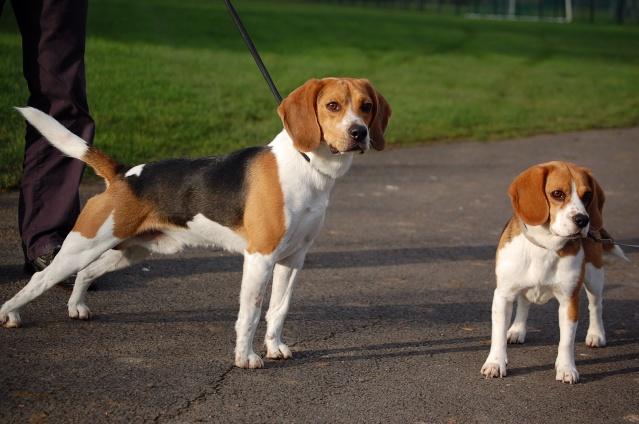 FILOU, beagle de 3 ans (59) en FA chez Fabou [Adopté] - Page 4 Dsc_1155